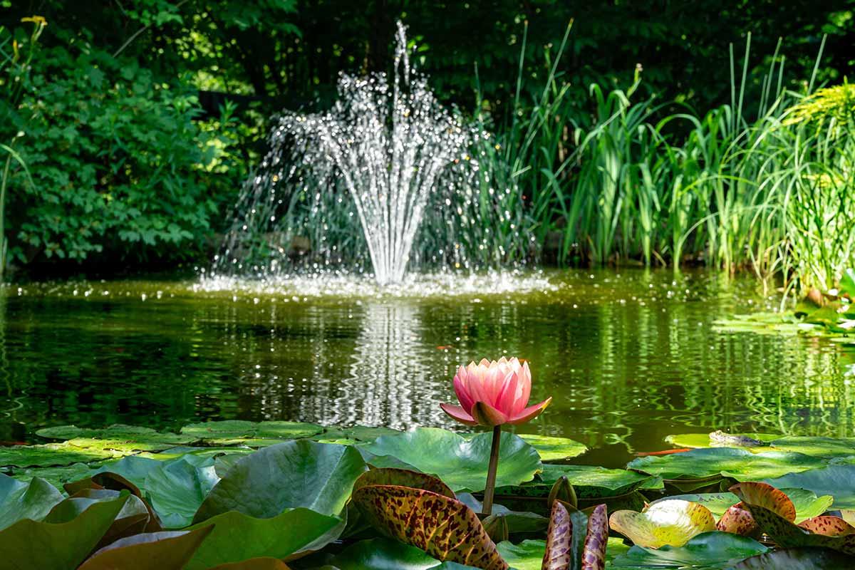 Lotus vor Wasserspiele